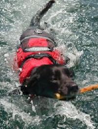 Black Labrador swimming in red Crewsaver Dog Life Jacket